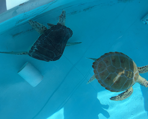 Two Green Sea Turtles Being Rehabilitated