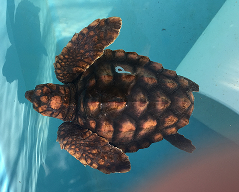 Juvenille Laggerhead Turtle Getting Ready to be Released